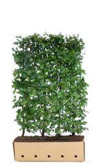QuickHedge Carpinus Betulus 100x150 cm.