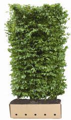 QuickHedge Carpinus Betulus 100x200 cm.