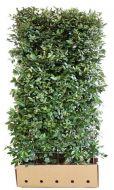 Quick Hedge Elaeagnus ebbingei 100x180 cm.