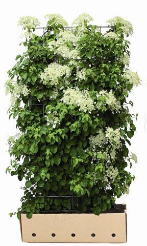 Hydrangea anomala petiolaris - Klimhortensia  haag 100x180 cm.