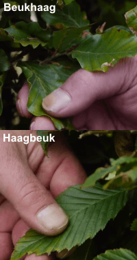 verschil tussen de bladstructuur van de haagbeuk en de beukhaag