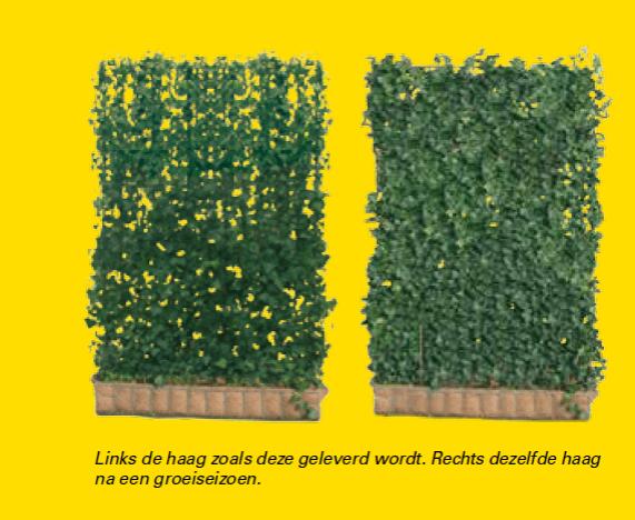 Kant-en-klare hagen bij aflevering vs 1 groeiseizoen