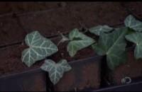 Kant en klaar hagen groeien door een stekje in stukjes te knippen en in boxen met organische en niet organische voedingstoffen te plaatsen